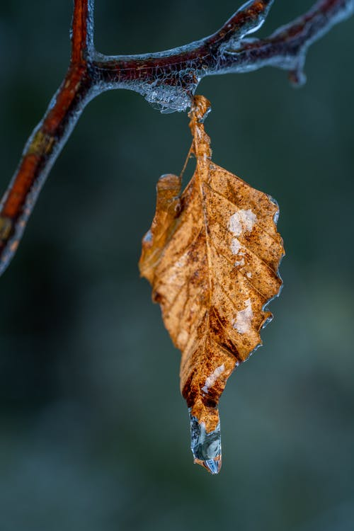Wet brown weathered leaf with drop of water hanging on tree branch in nature on blurred background in autumn day