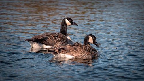 Geese Paddling on the Lake
