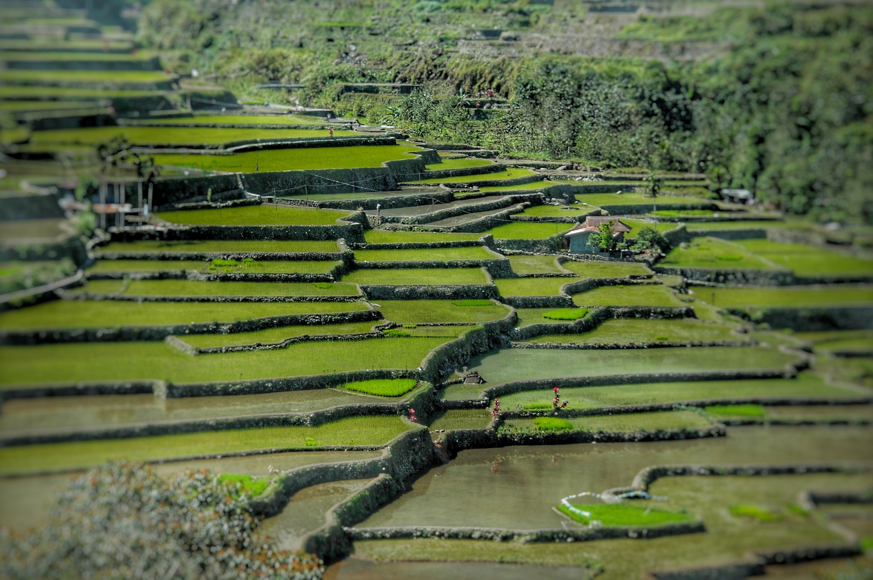 Green Rice Terraces
