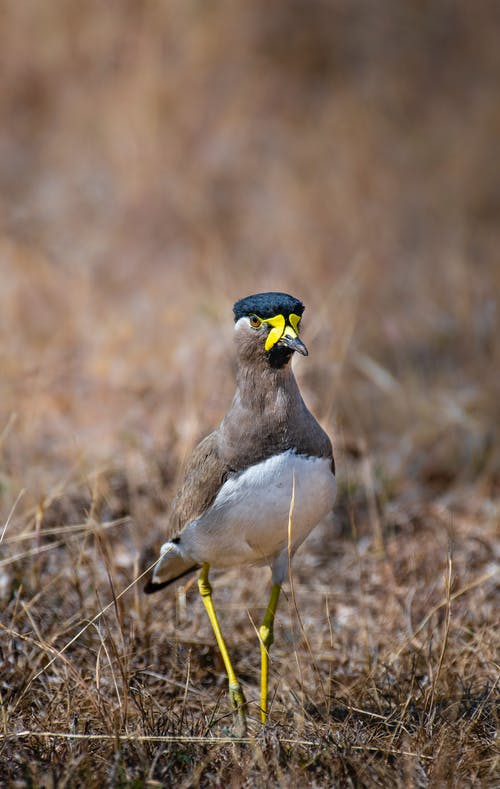 Wild Yellow wattled lapwing on grassy meadow