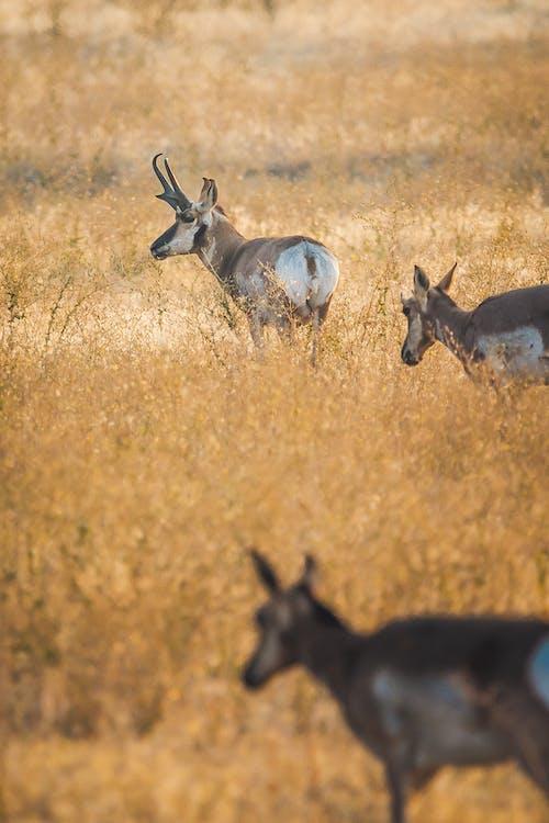 Graceful pronghorns grazing in grassland field