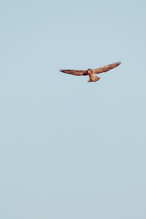 From below of graceful wild predatory bird freely flying in clear cloudless sky with outstretched wings