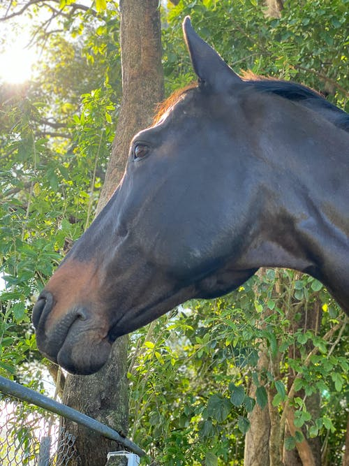 Free stock photo of bricole reincke, brown horse, horse