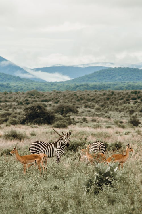 Zebras and antelopes on meadow against mounts under cloudy sky in savanna on foggy day