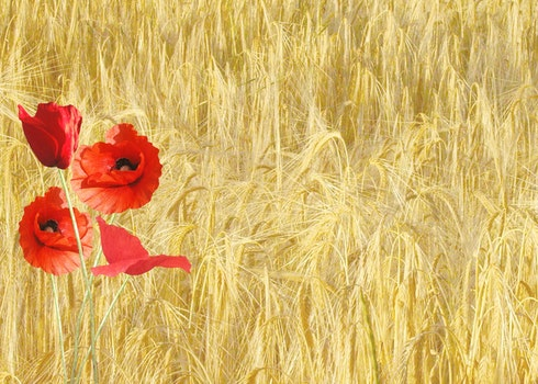 Red Petaled Flower Near Yellow Grass during Daytime