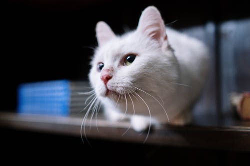 Close-up Photo of White Cat