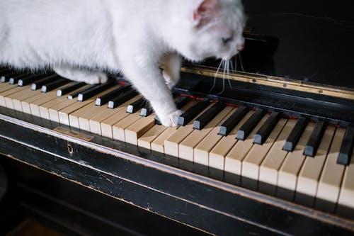 White Cat on Piano Keys
