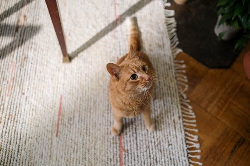 Orange Tabby Cat on Rug