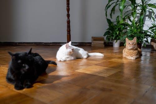 Three Cats on Wooden Flooring