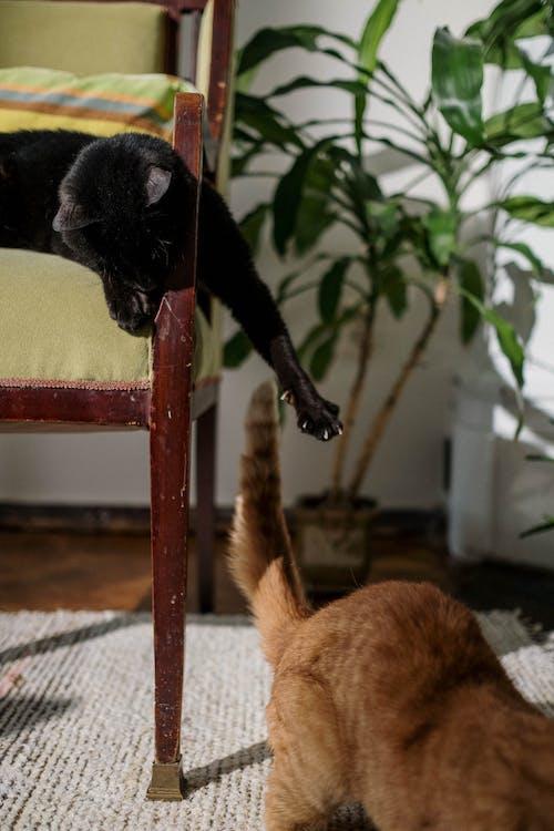 Orange and Black Cat Playing