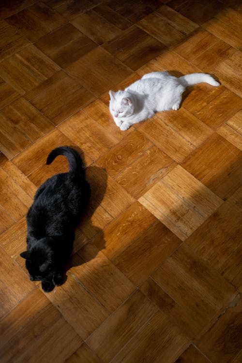 Black and White Cats on the Floor