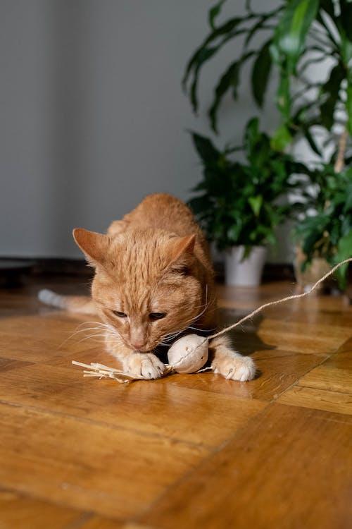 Orange Tabby Cat Lying on Brown Wooden Table