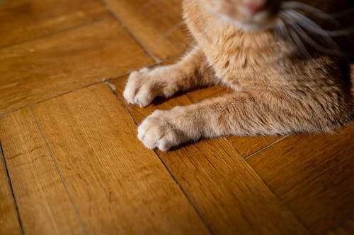 Orange Tabby Cat Lying on Brown Wooden Floor