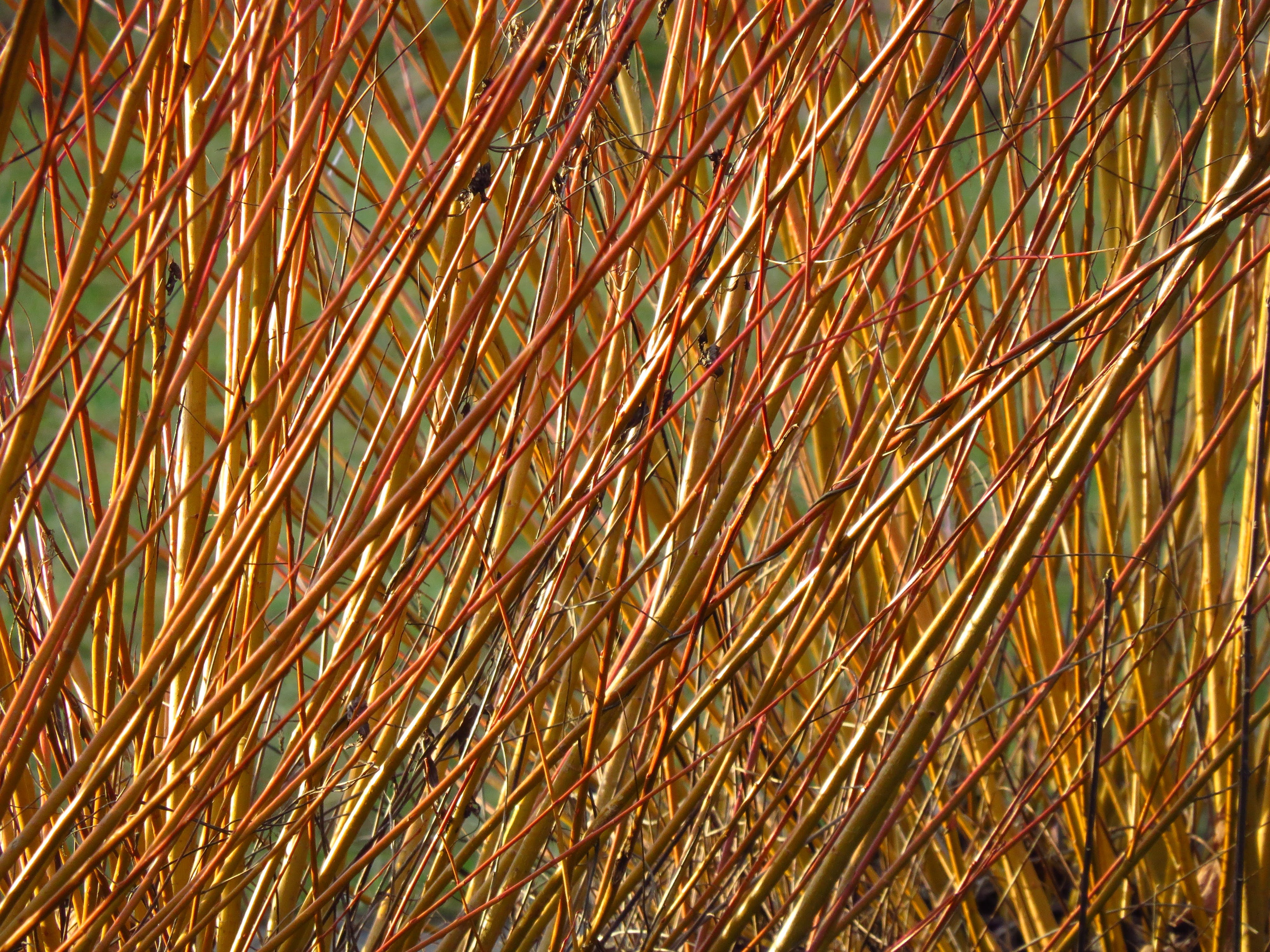 Free stock photo of aesthetic, basket willow, braid, branches