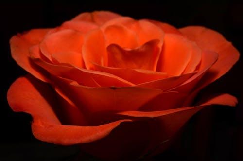 Безкоштовне стокове фото на тему «великий план, квітка, троянда, флора»