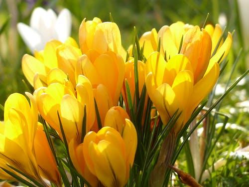 Kostnadsfri bild av blommor, flora, gul, krokus