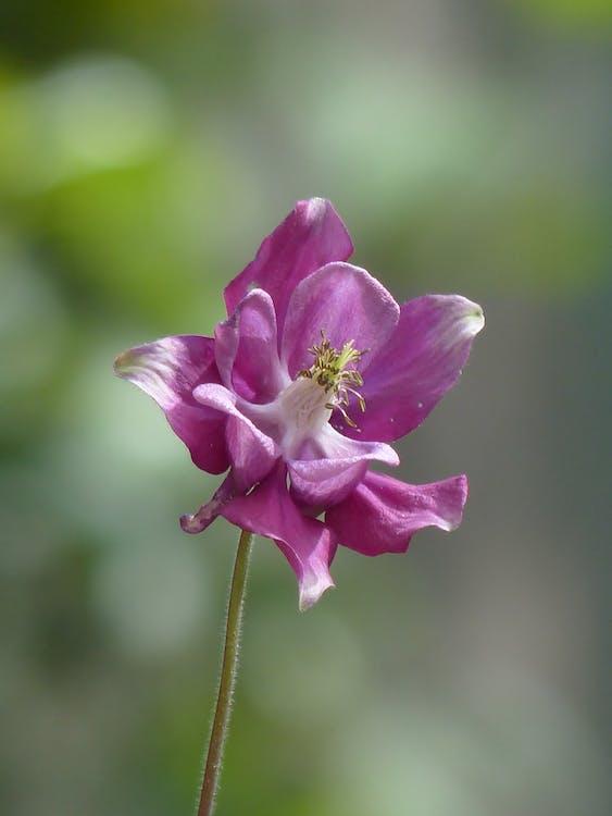 aquilegia, aquilegia vulgaris, flora
