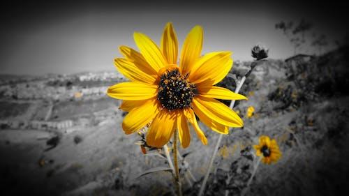 Free stock photo of Amarillo, flor, fotografia, Topinambur