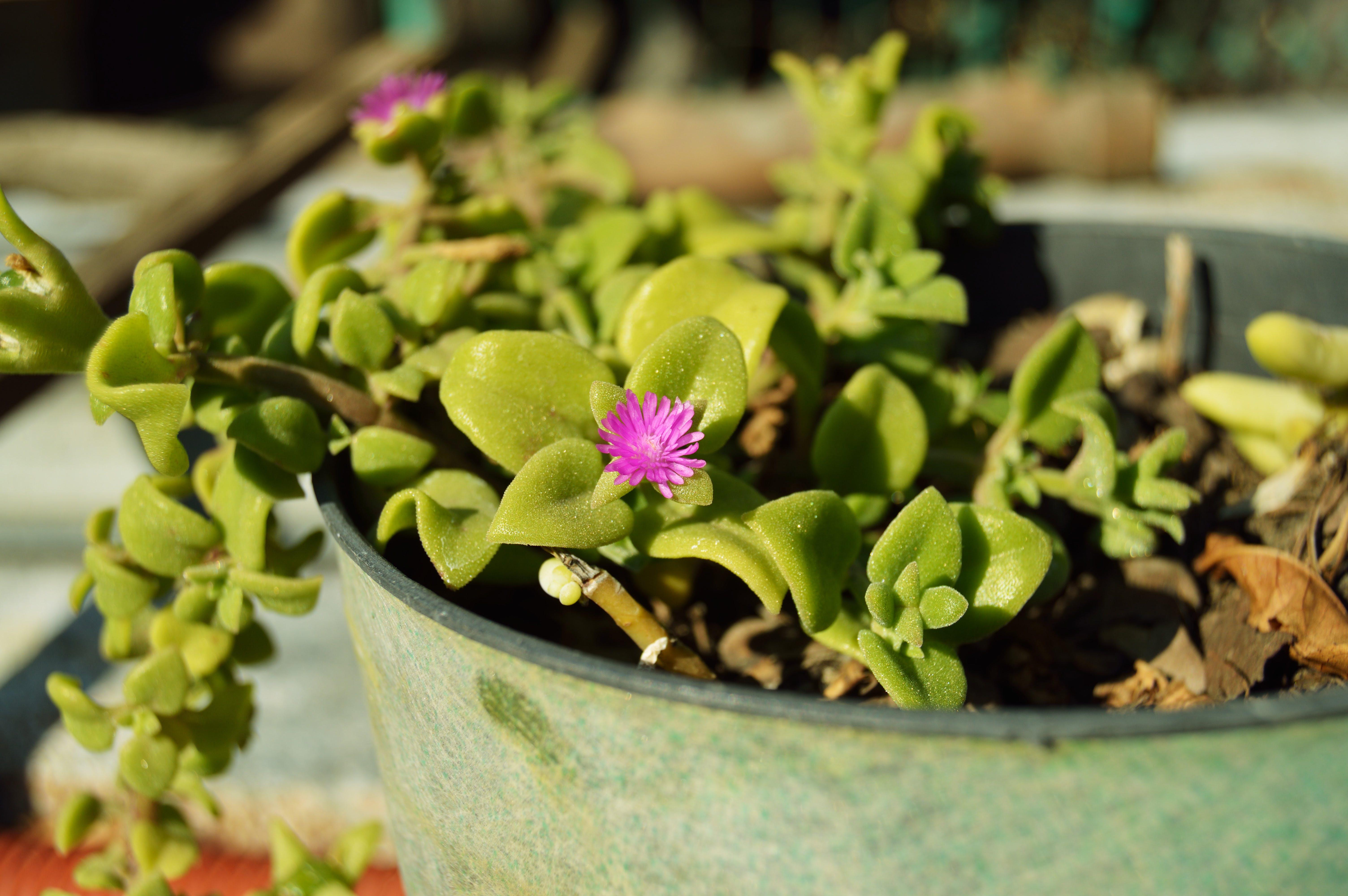 Purple Ice Plant Flower in Gray Metal Pot