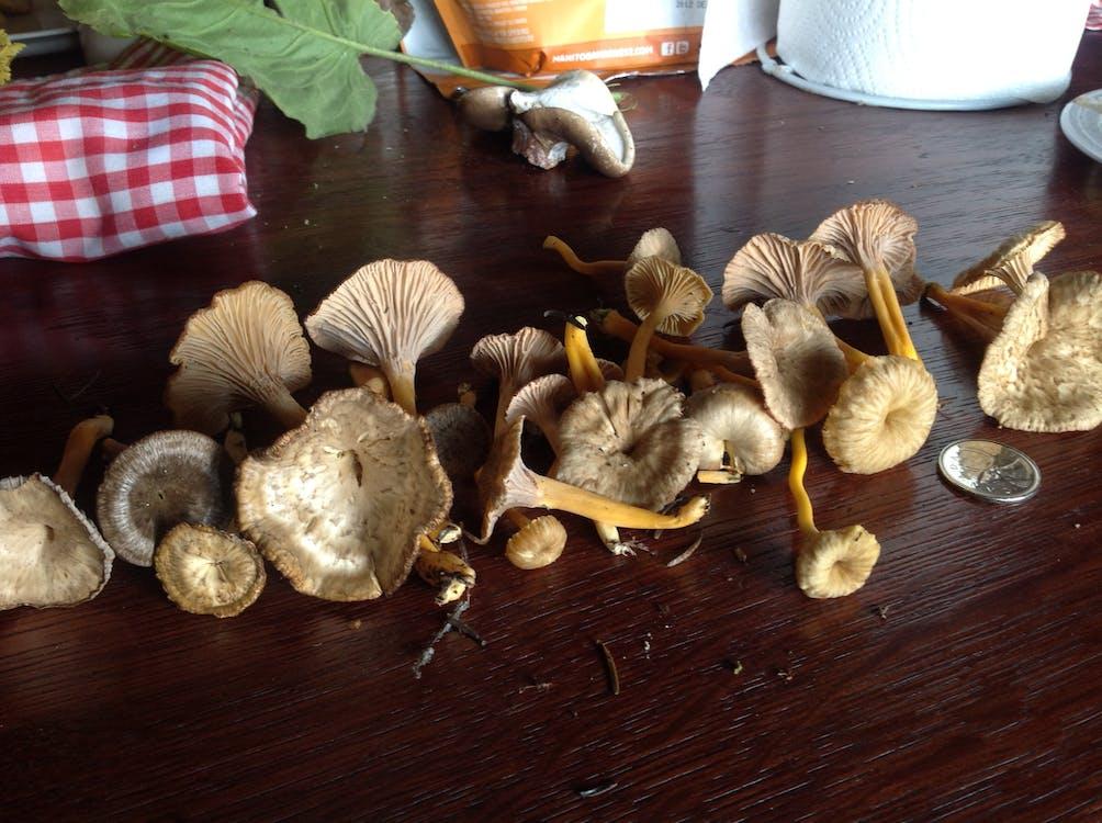 Free stock photo of forage, wild mushroom