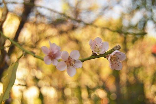 Fotobanka sbezplatnými fotkami na tému farby, flóra, kmeň, kvet ovocného stromu