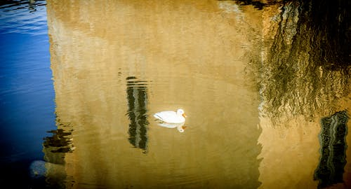 Free stock photo of calm, duck, reflections