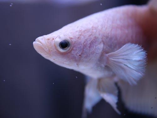 Kostnadsfri bild av akvariefisk, betta fisk, fena