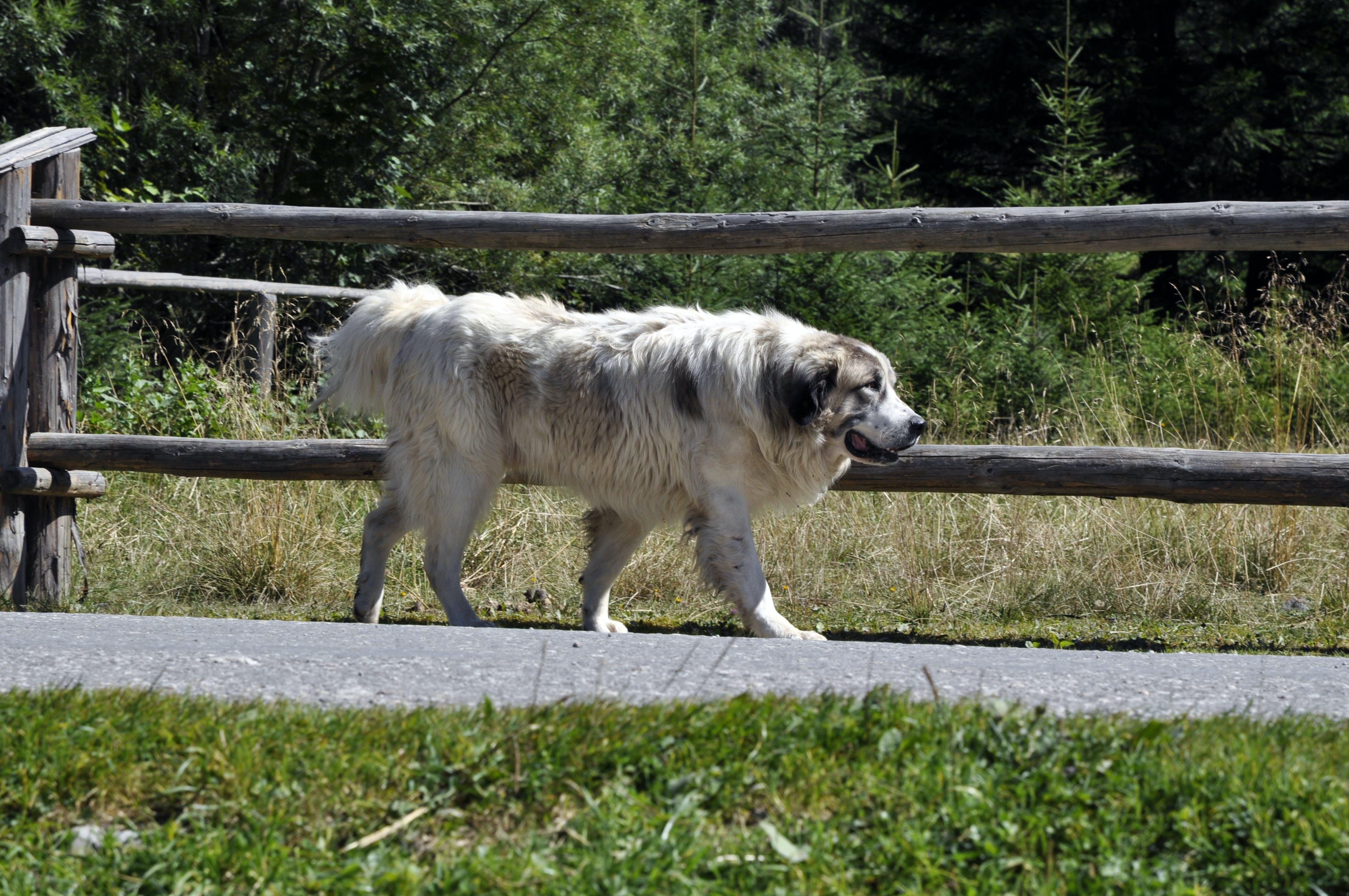 Free stock photo of dog, walking, white