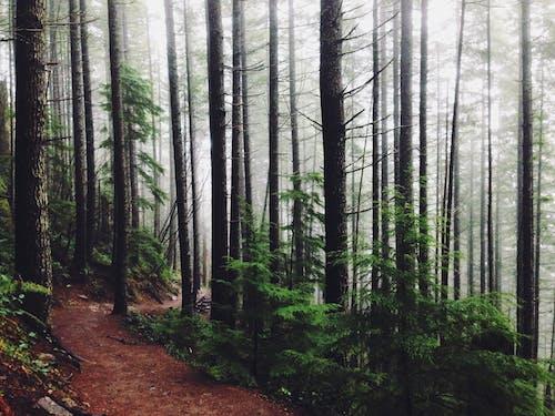 冷杉, 天性, 小徑, 小路 的 免费素材照片