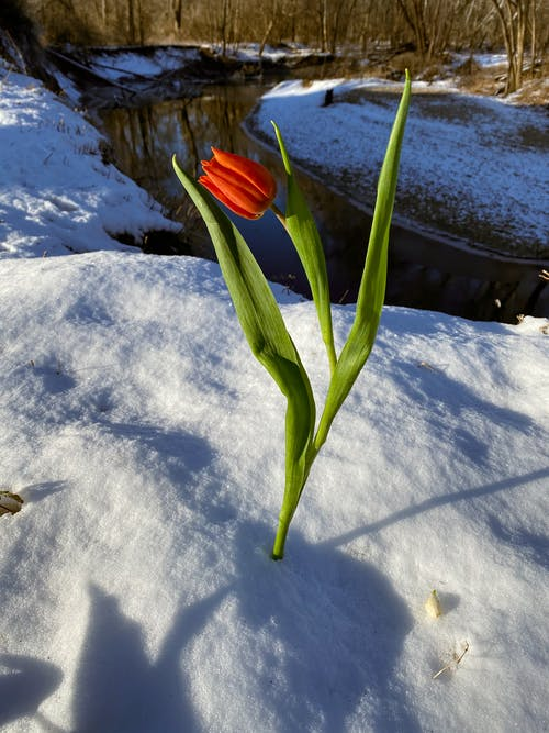 Red Flower on Snow Covered Ground