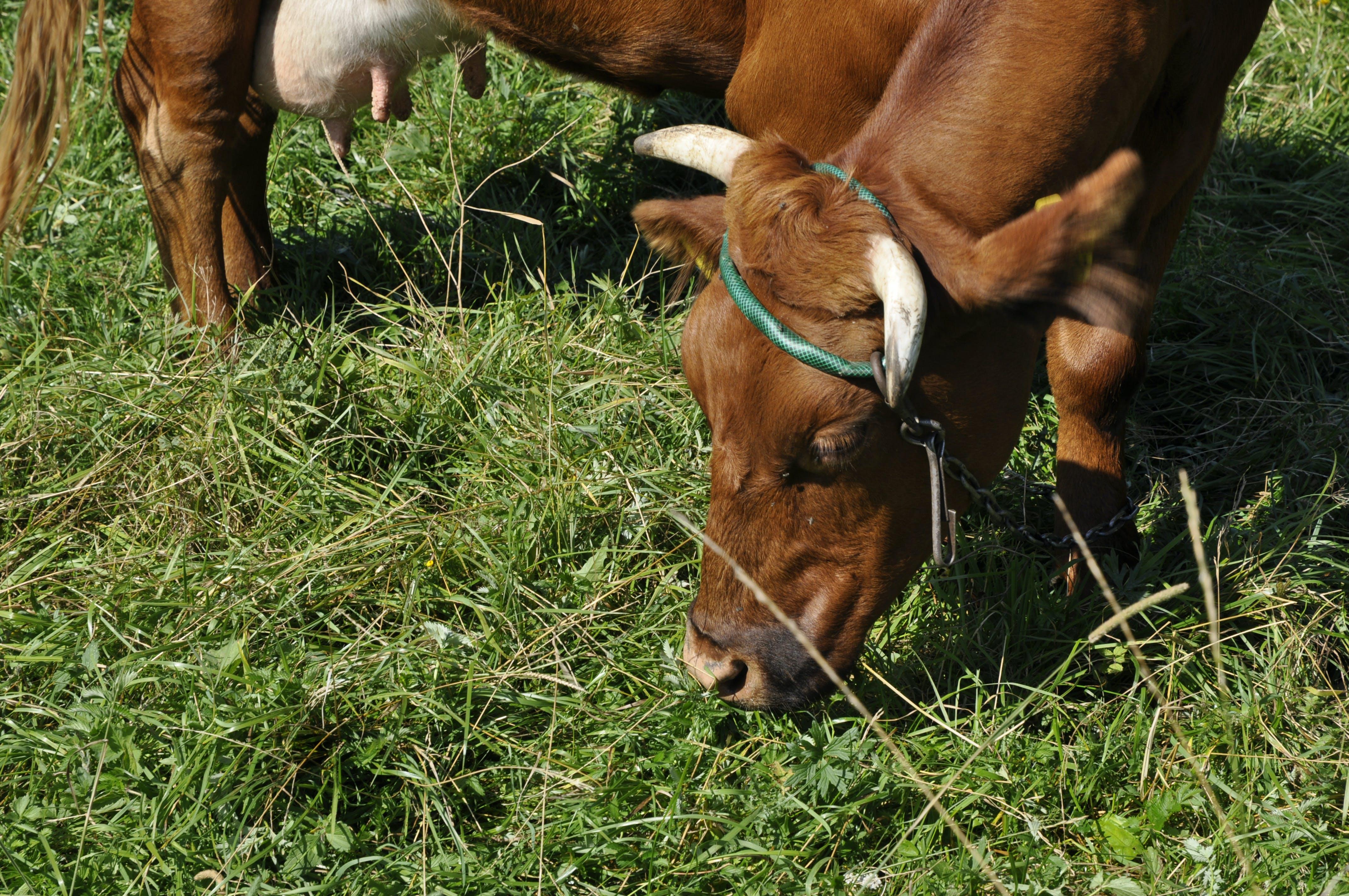 Free stock photo of animal, cow