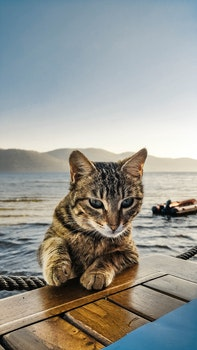 Black and White Tabby Cat Leaning on Brown Wooden Surface Beside Sea
