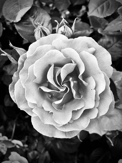Grayscale Photo of a Rose in Bloom