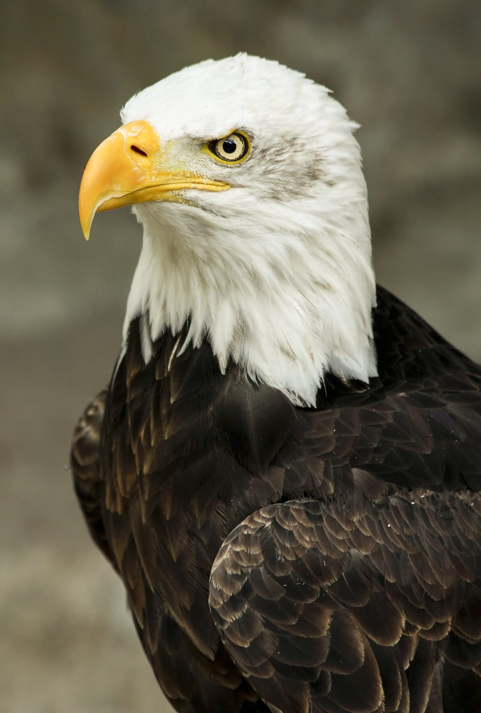 Macro Shot of White and Brown American Eagle