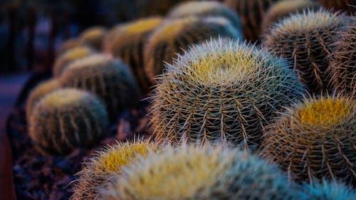 Darmowe zdjęcie z galerii z ciernie, kaktus z beczki, kaktusy, kolce