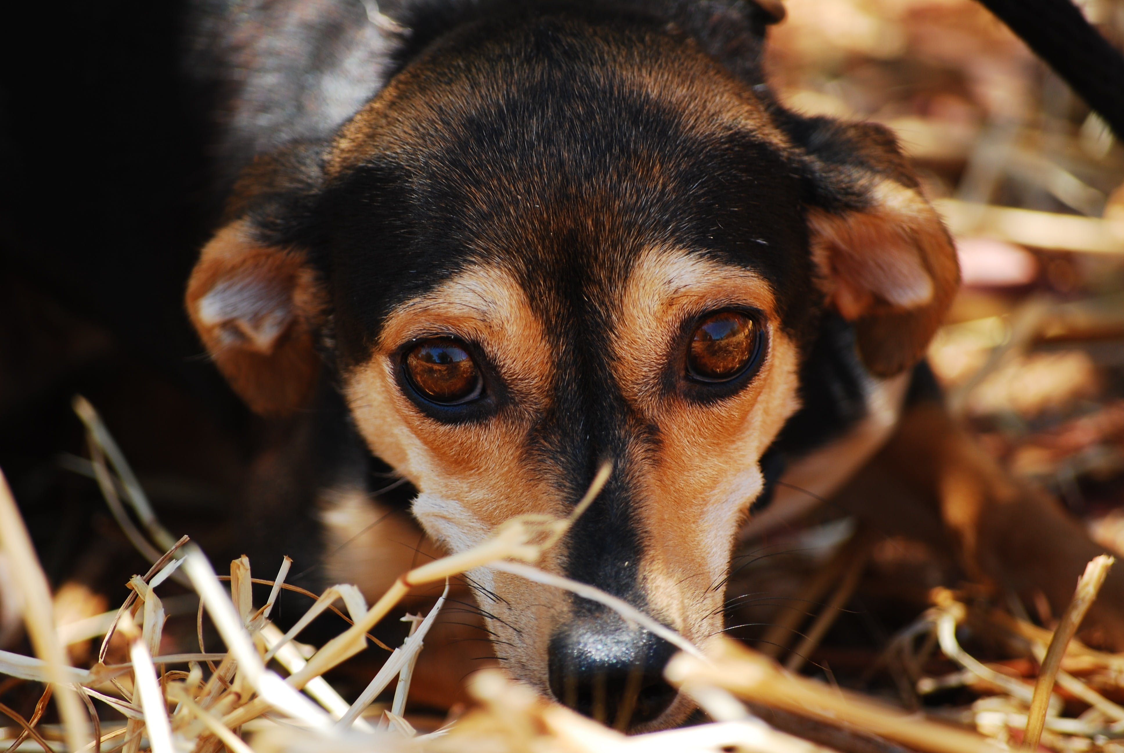 Black Brown Coated Dog on Dried Grass