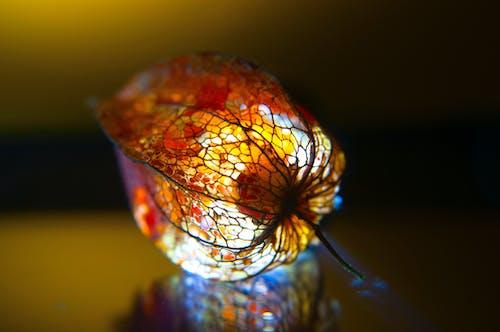 คลังภาพถ่ายฟรี ของ lampion, physalis, การตกแต่งฤดูใบไม้ร่วง, จาง ๆ
