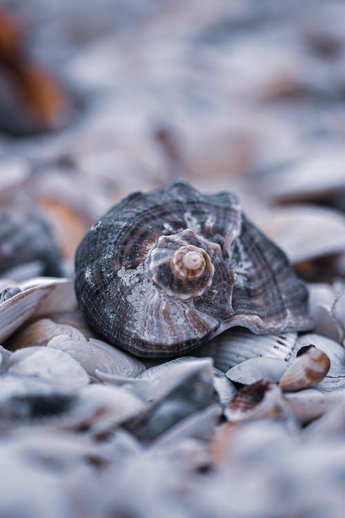 Rapana venosa whelk on seashell coast