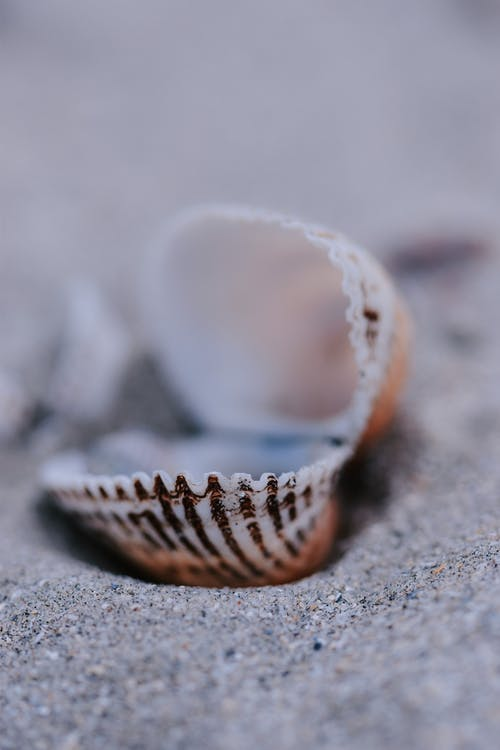 Closeup of small textured Cerastoderma edule clam shell placed on sandy beach on sunny day