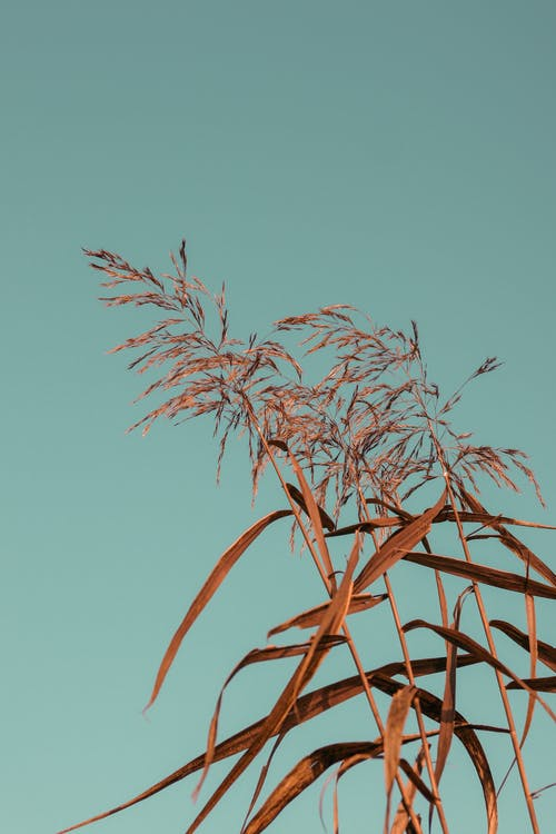 Dry tall grass with thin stems and long leaves with fluffy inflorescence growing under blue cloudless sky in daytime in nature