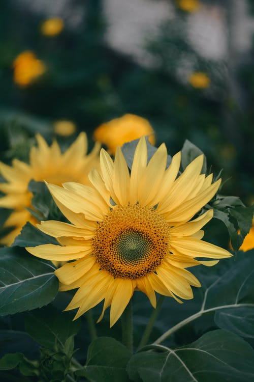 Tender blossoming yellow sunflowers cultivated in lush abundant garden on clear summer day