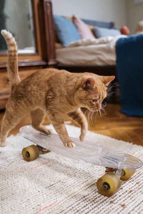Orange Tabby Cat on Penny Board