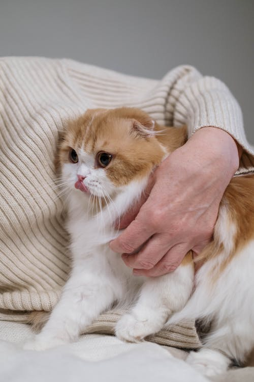 Person Holding Orange and White Cat