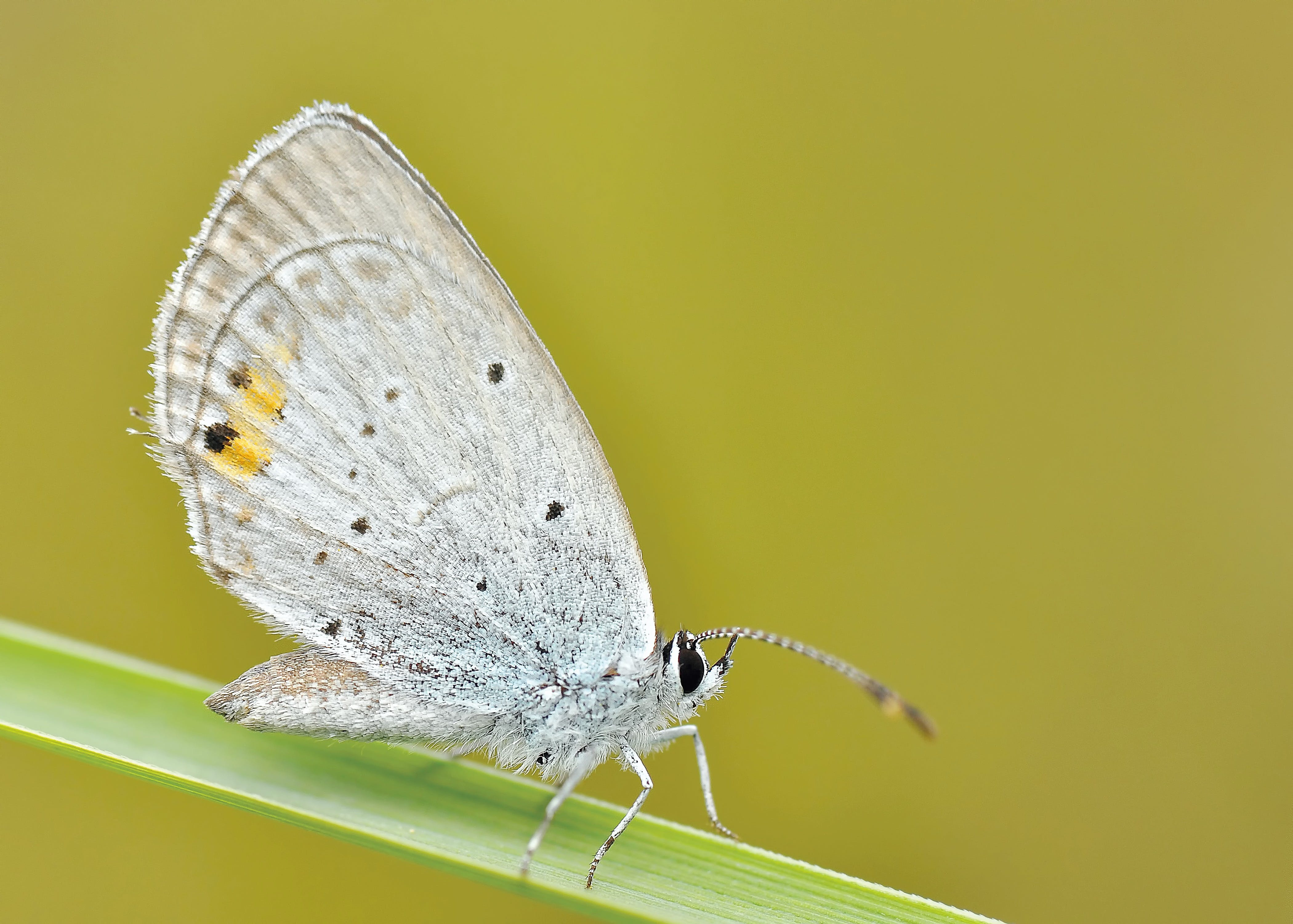 Grey Butterfly on Green Stem