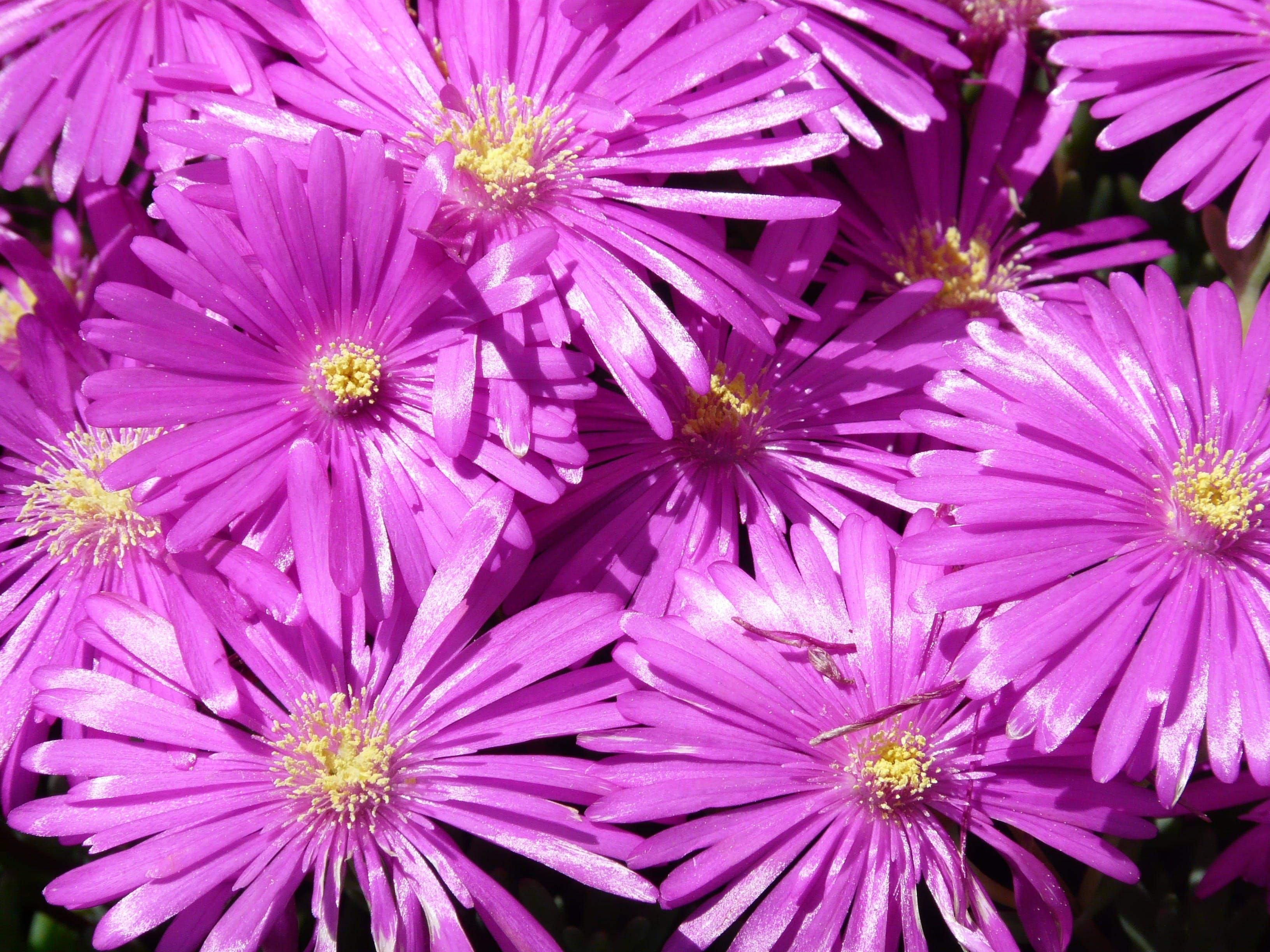 Free stock photo of purple, shrub, colorful, flower