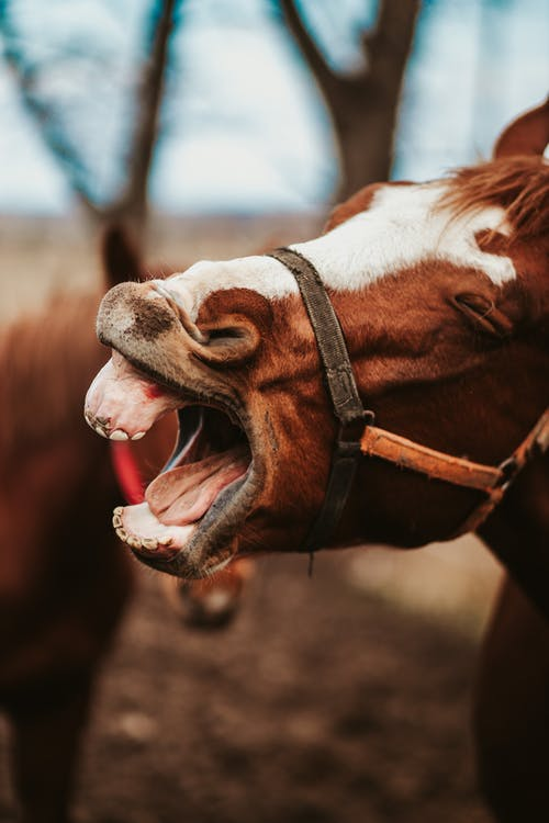 Brown and White Horse Showing Tongue