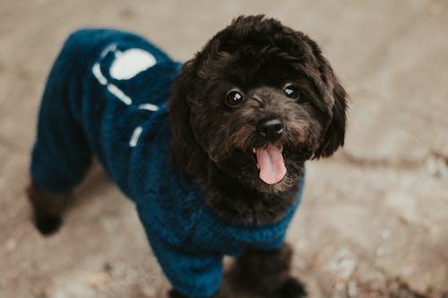 Black Dog wearing a Blue Pet Clothing