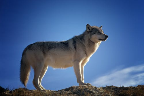 Gray and White Fox Standing on Brown Rock Field