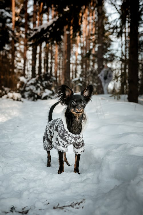 Cute little hairy Russian Toy terrier in warm wear standing on snow among tall evergreen trees in forest