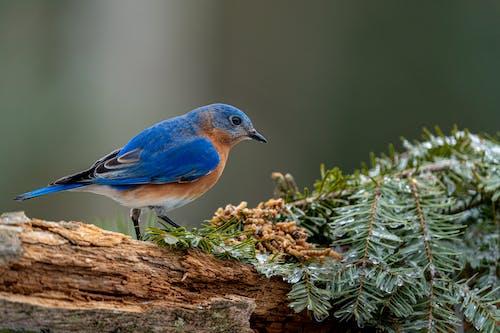 Mountain bluebird near green branches